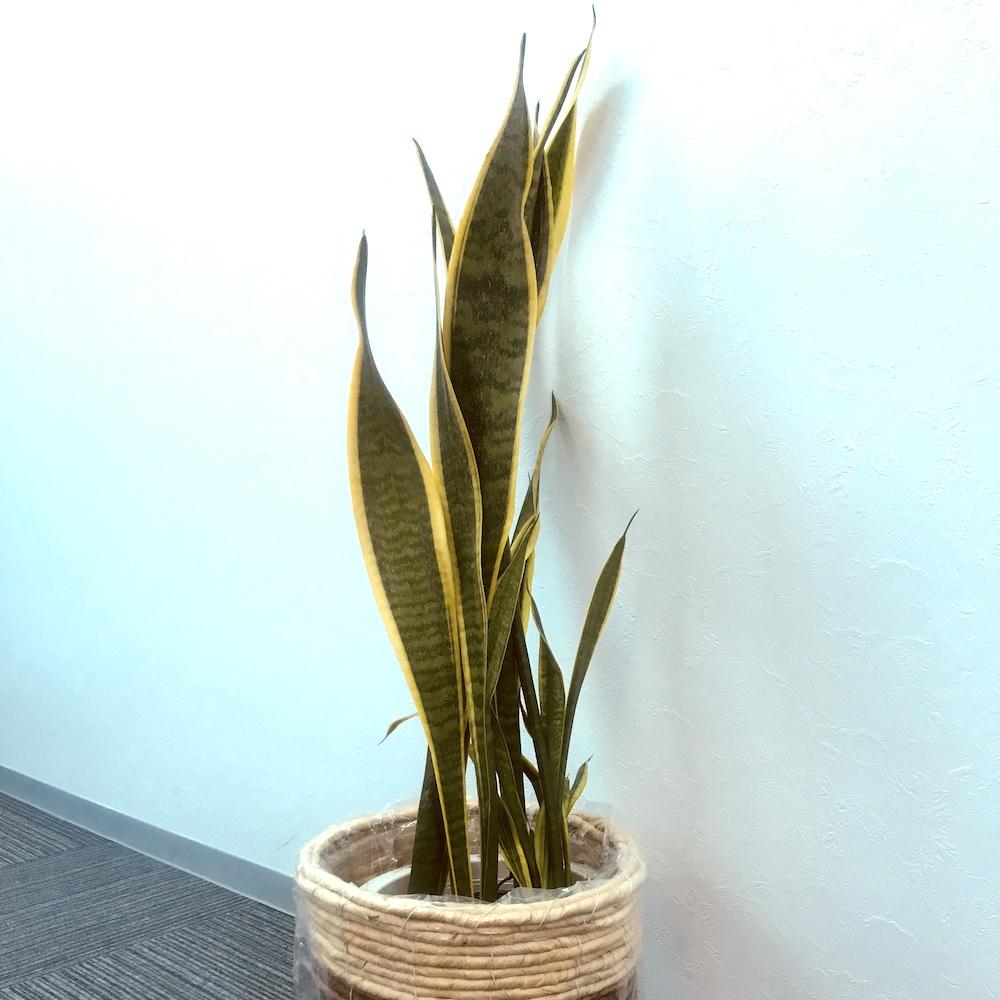 株式会社シェアウィズのオフィスにある観葉植物サンスベリア